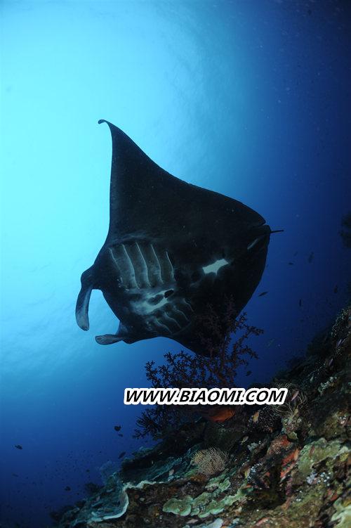 致力守护海洋生态 宝齐莱推出全新柏拉维深潜腕表黑魔鬼鱼特别款 名表赏析 第3张